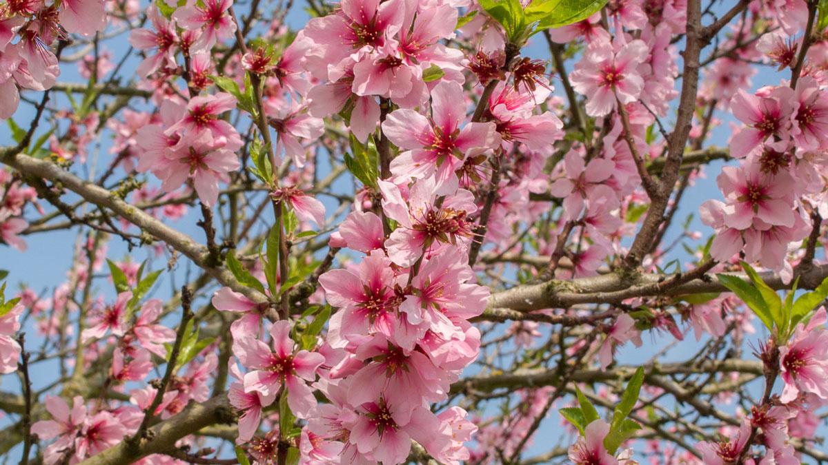 Traum in Rosa: Die Mandelblüte in der Pfalz von Anfang März bis Ende April. Foto vielweib