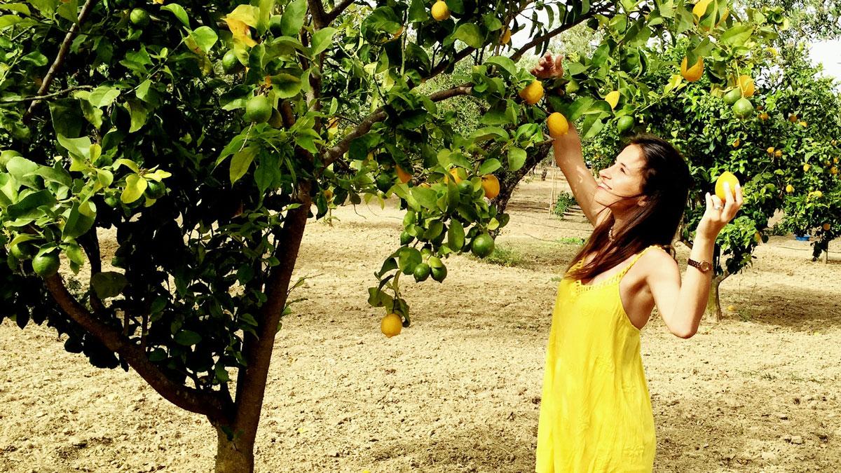Zitronen direkt vom Baum. Foto IH