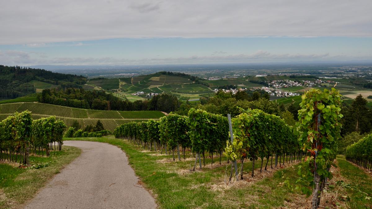 Panoramablick vom Weinberg in die Rheinebene bis nach Straßburg. Foto WR