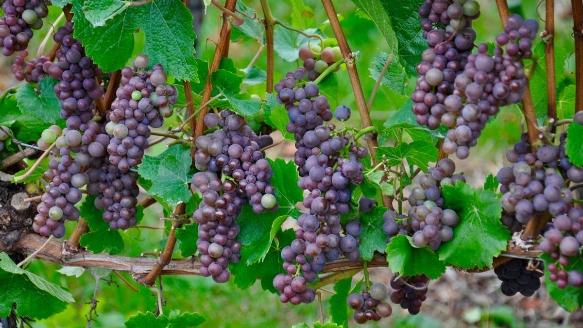 Der rote Spätburgunder ist eine Spezialität des Weingutes. Foto WR